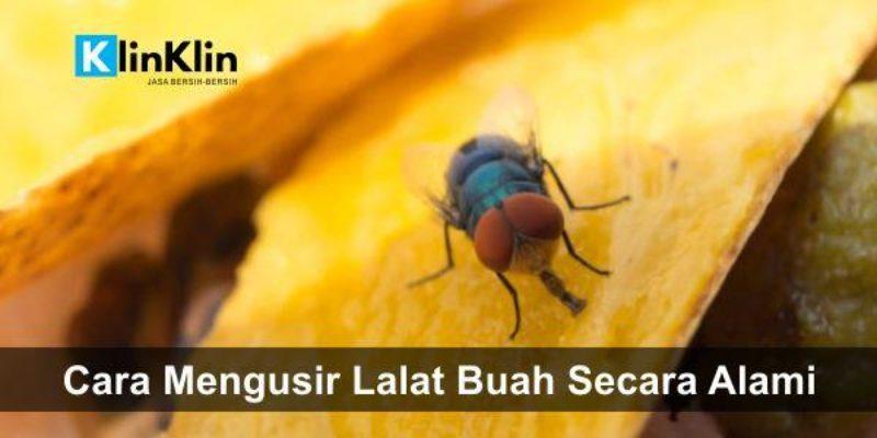 Cara Mengusir Lalat Buah Secara Alami